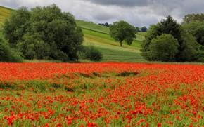 Картинка лето, деревья, цветы, маки, кустарники, маковое поле