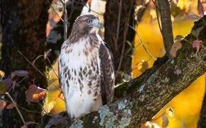 Картинка осень, природа, птица, Red-Tailed Hawk