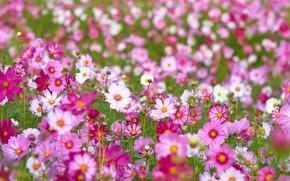 Картинка Цветы, цветение, Космея
