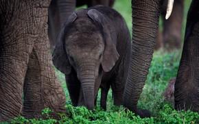 Картинка природа, малыш, слоны