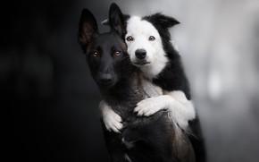 Картинка взгляд, фон, парочка, друзья, две собаки, Бордер-колли, Малинуа, Бельгийская овчарка