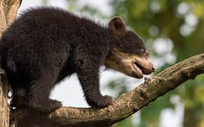 Картинка природа, фон, дерево, ветка, маленький, малыш, медведь, медвежонок, мордашка, детеныш, боке, бурый