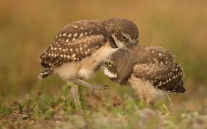 Картинка трава, птицы, поза, совы, парочка, боке, сычи, две птицы, сычики