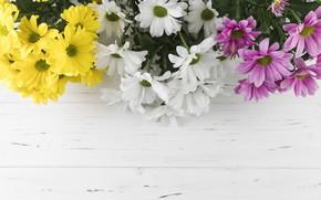 Картинка цветы, colorful, хризантемы, flowers, beautiful, spring, multicolored