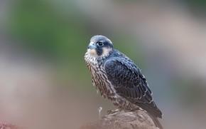 Картинка птица, камень, хищник, боке, сапсан