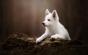 Картинка фон, собака, щенок, бревно, Белая швейцарская овчарка