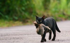 Картинка дорога, кошка, малыш, черная, котёнок, забота, детеныш, мама, зеленый фон, тащит