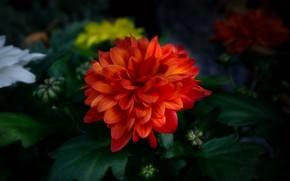 Картинка листья, красная, хризантема