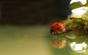 Картинка вода, макро, природа, отражение, божья коровка, мох, жук, боке