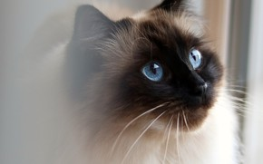 Картинка кошка, кот, взгляд, морда, портрет, сиамский, рэгдолл