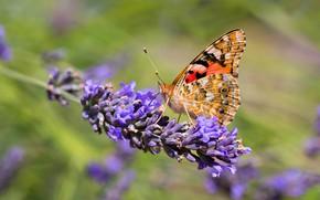 Картинка макро, цветы, фон, бабочка, лаванда