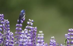 Картинка лето, птица, лаванды