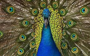 Картинка птица, узор, портрет, хвост, павлин, веером