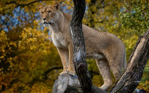 Обои дерево, львица, дикая кошка