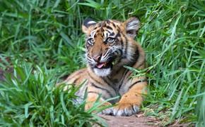 Картинка зелень, язык, трава, взгляд, морда, природа, тигр, поза, фон, животное, лапы, лежит, травка, тигренок, выражение, …