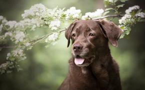 Обои язык, взгляд, морда, цветы, ветки, природа, портрет, собака, весна, белые, цветение, зеленый фон, коричневая