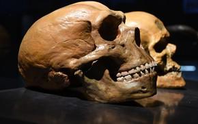 Картинка skull, human, Homo neanderthalensis