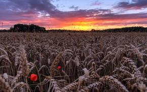 Картинка поле, лето, закат, колосья