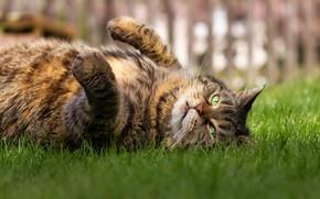 Картинка кошка, трава, кот, взгляд, морда, серый, отдых, забор, лапы, лежит, полосатый, зеленые глаза, лень, толстый, …