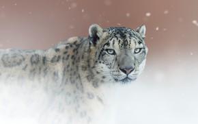 Картинка взгляд, фон, портрет, Снежный барс, дикая кошка, Ирбис, Снежный леопард