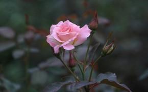 Картинка фон, роза, розовая роза, одинокая роза
