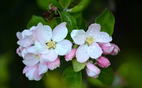 Картинка макро, роса, яблоня