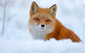 Картинка зима, взгляд, снег, природа, поза, портрет, мордочка, лиса, красавица, рыжая, сугроб, лисица