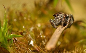Картинка трава, макро, паук, боке, джампер, паучок, скакунчик, прыгающий