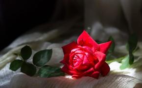 Картинка свет, роза, красная, композиция