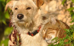 Картинка кошка, кот, собака, друзья