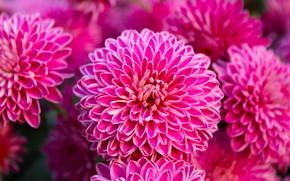 Картинка цветы, розовые, георгины