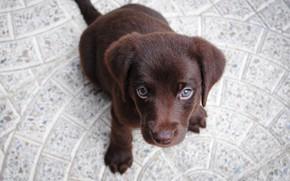Картинка взгляд, собака, щенок, мордашка, Лабрадор-ретривер