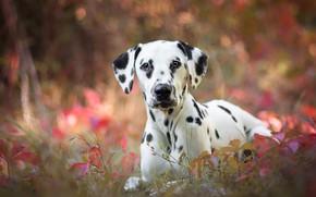 Обои осень, трава, листья, природа, фон, портрет, собака, щенок, далматинец, боке