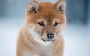 Картинка морда, фон, собака, Сиба-ину, Светлана Писарева