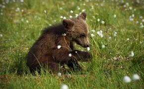 Картинка лето, трава, морда, поза, малыш, медведь, медвежонок, сидит, бурый, хлопчатник