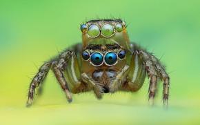 Картинка глаза, макро, фон, пауки, паук, прыгун, джампер, паучок, прыгающий паук, членистоногое