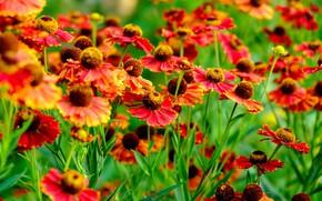 Картинка цветы, гелениумы, Гайлардии