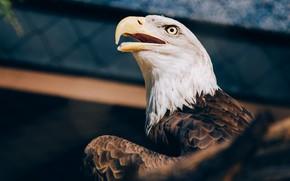 Картинка фон, птица, орел, белоголовый орлан