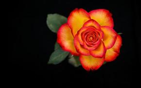 Картинка макро, роза, пестрый