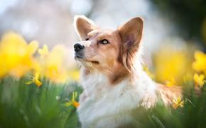 Картинка морда, цветы, портрет, собака, размытость, нарциссы, Вельш-корги