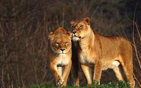 Картинка взгляд, ветки, природа, поза, фон, две, пара, прогулка, дикие кошки, львица, львицы, две львицы
