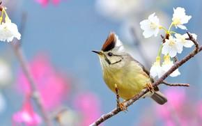 Картинка цветы, птица, ветка, весна, белые, птичка, цветение, голубой фон, боке, синица, хохолок