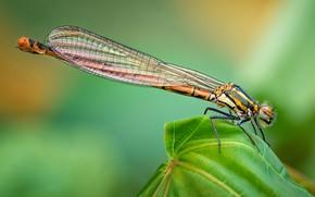 Картинка животные, лето, макро, природа, Стрекоза, насекомое