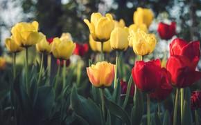 Картинка цветы, весна, желтые, тюльпаны, красные, клумба, боке