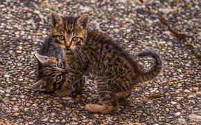 Картинка полосатые, играются, два котёнка