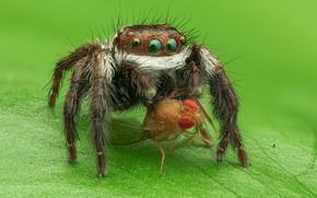 Картинка взгляд, макро, зеленый, муха, фон, листок, паук, зеленоглазый, добыча, джампер, паучок, косится, прыгунчик, прыгающий