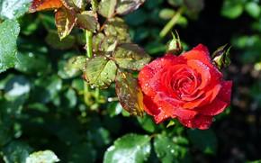 Картинка цветок, капли, роза, куст