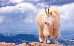 Картинка белый, небо, облака, горы, обрыв, скалы, высота, шерсть, рога, белая, горная, коза, горный, козёл, горный …