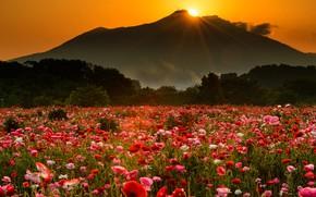 Картинка цветы, горы, поляна, вечер, оранжевое, поле, мак, маковое поле, маки, солнце, гора, лучи, свет, природа, …