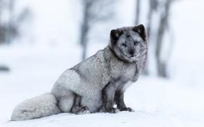 Картинка зима, лес, снег, деревья, поза, серый, фон, светлый, пушистый, мордашка, сидит, песец
